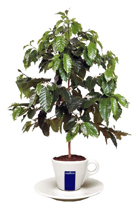Lavazza_espresso_pot_plant_480px